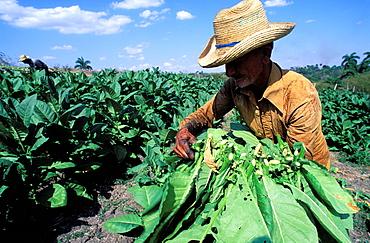 Collecting tobacco,Valle de Vinales (Valley of Vinales), Region of Pinar del Rio, Cuba, Central America
