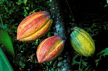 Cacao (cocoa), Basse Terre, Guadeloupe, Caribbean, Central America