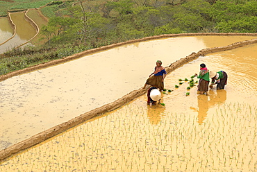 Flower Hmong ethnic group women working in the rice field, Bac Ha area, Vietnam, Indochina, Southeast Asia, Asia