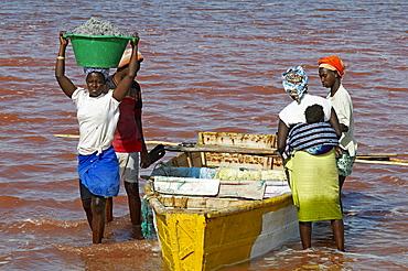 Collecting salt at Redba salt lake (Pink Lake), Senegal, West Africa, Africa