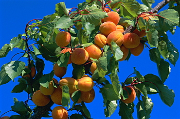 Apricots ripening on tree, Vaucluse, Provence, France, Europe