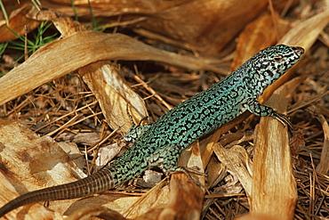 Green lizard (Podarcis pityusensis), Formentera, Balearic Islands, Spain, Mediterranean, Europe