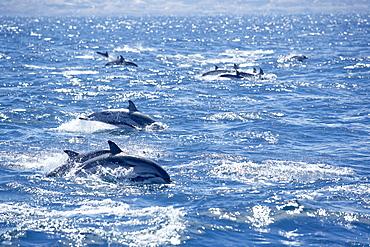 Group of striped dolphins (Stenella coeruleoalba) swimming, Strait of Gibraltar, Costa de la Luz, Andalucia (Andalusia), Spain, Europe