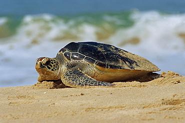 Close-up of a green sea turtle (Chelonia Mydas) coming out of the sea onto a beach, near Hat Mai Khao, Phuket Province, South Thailand, Thailand, Southeast Asia, Asia - 718-128