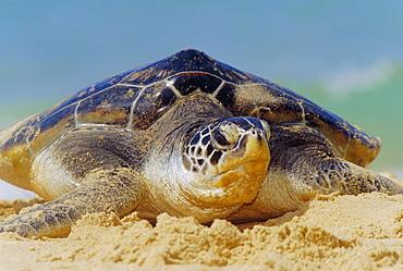 Green Sea Turtle (Chelonia Mydas) coming out of the sea near Hat Mai Khao, Phuket Province, Thailand - 718-130