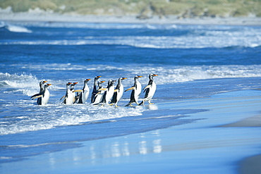 Gentoo penguins (Pygocelis papua papua) coming out of the sea, Sea Lion Island, Falkland Islands, South Atlantic, South America
