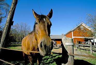 Horse and farm, near Kent, Connecticut, New England, United States of America, North America