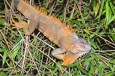 Green Iguana (Iguana Iguana), La Fortuna, Arenal, Costa Rica, Central America