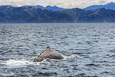 Sperm whale diving, Kaikoura, South Island, New Zealand, Pacific