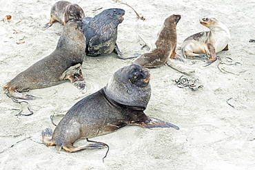 New Zealand Sea Lions (Phocarctos hookeri) at Otago Peninsula, Dunedin, Otago, South Island, New Zealand, Pacific