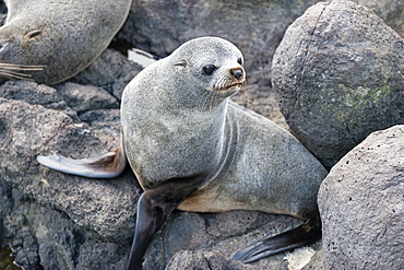 New Zealand Fur seal at Otago Peninsula, Dunedin, South Island, Otago, New Zealand, Pacific