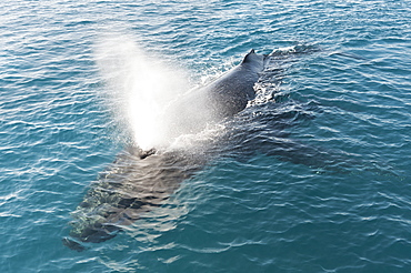 Humpback whale (Megaptera novaeangliae) adult surfacing and exhaling, Hervey Bay, Queensland, Australia, Pacific