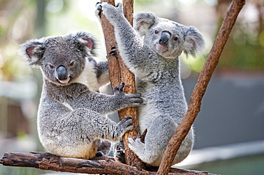 Two koalas (Phascolarctos Cinereous) playing on a tree, Lone Pine Koala Sanctuary, Brisbane, Queensland, Australia, Pacific