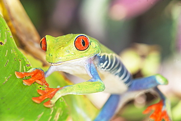 Red eyed tree frog (Agalychins callydrias), Sarapiqui, Costa Rica, Central America