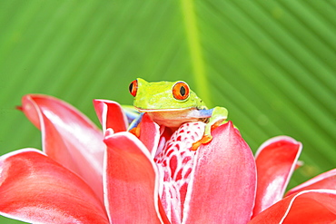 Red eyed tree frog (Agalychins callydrias) on red flower, Sarapiqui, Costa Rica, Central America