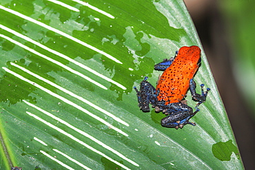Blue jeans dart frog (Dendrobates pumilio) on leaf, Costa Rica, Central America
