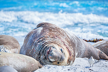 Southern elephant seal (Mirounga leonina), male on sandy beach, Sea Lion Island, Falkland Islands, South America