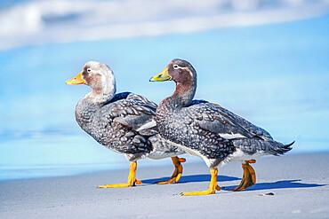 Steamer ducks (Tachyeres brachypterus) walking, Sea Lion Island, Falkland Islands, South America