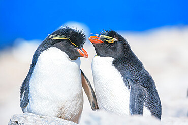 Two Rockhopper penguins (Eudyptes chrysocome chrysocome) showing affection, Sea Lion Island, Falkland Islands, South America