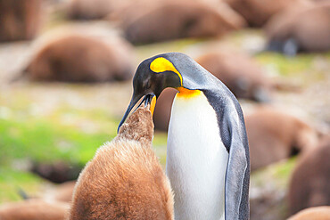 An adult King penguin (Aptenodytes patagonicus) feeding its chick, East Falkland, Falkland Islands, South America