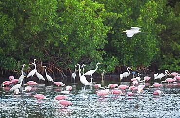 Group of Great white egrets (Ardea alba) and Roseate Spoonbills (Platalea ajaja) fishing, J.N. Ding Darling Wildlife Refuge, Florida, United States of America, North America