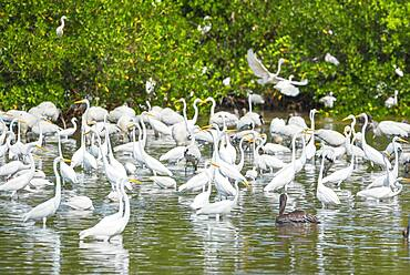 Group of Great white egrets (Ardea alba) looking for food in a pond, J.N. Ding Darling National Wildlife Refuge, Florida, United States of America, North America