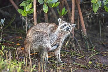 Raccoon (Procyon lotor) scratching himself, Sanibel Island, J.N. Ding Darling National Wildlife Refuge, Florida, United States of America, North America