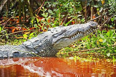 American alligator (Alligator mississipiensis), Sanibel Island, J.N. Ding Darling National Wildlife Refuge, Florida, United States of America, North America