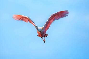 Roseate Spoonbill (Platalea ajaja) in flight, Sanibel Island, J.N. Ding Darling National Wildlife Refuge, Florida, United States of America, North America