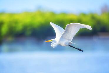 Great white egret (Ardea alba) in flight, Sanibel Island, J.N. Ding Darling National Wildlife Refuge, Florida, United States of America, North America