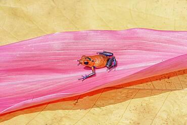 Blue jeans dart frog (Dendrobates pumilio) on a leaf, Costa Rica, Central America,