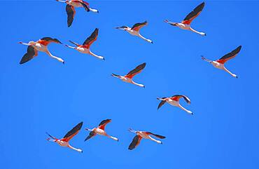 Flock of Chilean flamingoes (Phoenicopterus chilensis) in flight, Torres del Paine National Park, Patagonia, Chile, South America