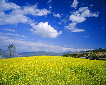 Mustard fields in winter near Nagarkot, Nepal