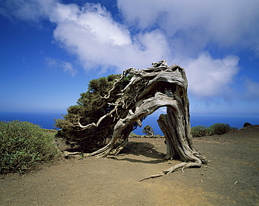 Sabina tree at El Sabinar, El Hierro, Canary Islands, Spain, Europe