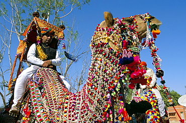 Camels adorned with colourful tassels and bridles, Bikaner Desert Festival, Rajasthan state, India, Asia