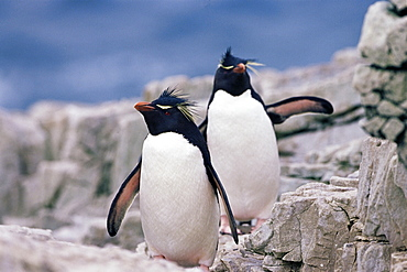 Two rockhopper penguins (Eudyptes chrysocome chrysocome), Sea Lion Islands, Falkland Islands, Atlantic, South America