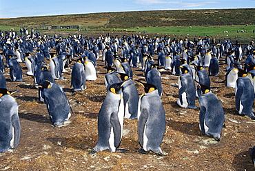 Colony of king penguins (Aptenodytes patagonicus), Volunteer Point, East Falkland, Falkland Islands, South Atlantic, South America