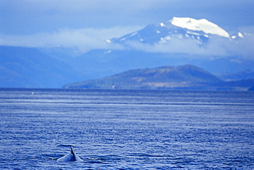 Humpback whale (Megaptera novaeangliae), and snow coverd mountains in the background, Francisco Coloane Marine Park, Strait of Magallanes (Magellan), Patagonia, Chile, South America