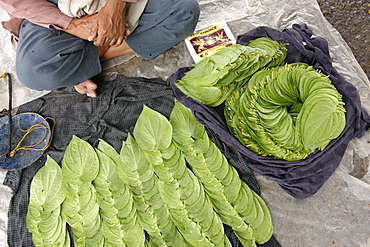 Betel, leaf of a vine belonging to the Piperaceae family, used as a stimulant, antiseptic and breath-freshener, Republic of the Union of Myanmar (Burma), Asia