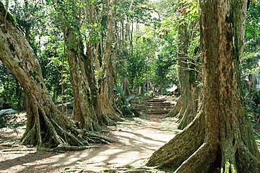 Allee de Sang Dragon, Mission a Morne Seychellois, island of Mahe, Seychelles, Indian Ocean, Africa