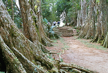 Allee de Sang-Dragon (sangdragon trees alley), Mission at Morne Seychellois, island of Mahe, Seychelles, Indian Ocean, Africa