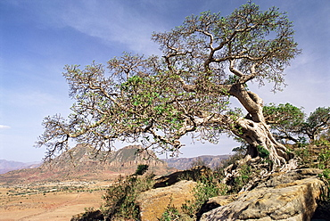 On the flank of Mount Workamba, Tambien region, Tigre Province, Ethiopia, Africa