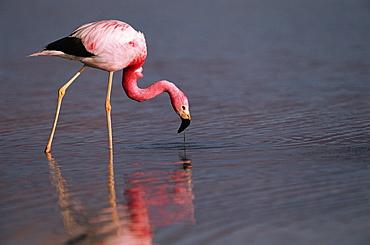 Andean flamingo feeding {Phoenicoparrus andinus} Laguna Blanca, SW Bolivia