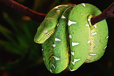 Emerald tree boa coiled round branch {Corallus canina} Amazon rainforest, Ecuador