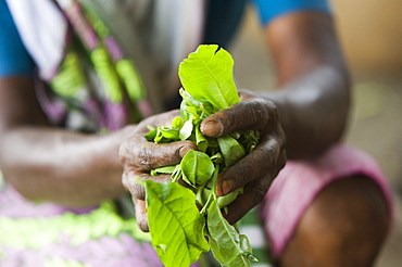 Hands with Tea Leaves, Kerala, India