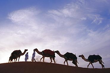 Camels, Dubai, United Arab Emirates