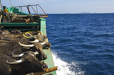 Cargo and passenger ferry from El Nido to Coron Town, with Carabao oxen being transported by ship, Palawan Province, Philippines, Southeast Asia, Asia