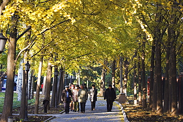 People walking under an avenue of autumn coloured trees in Ritan Park, Beijing, China, Asia