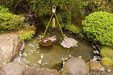 Cherry blossom petals in water fountain, Kamakura city, Kanagawa prefecture, Honshu island, Japan, Asia