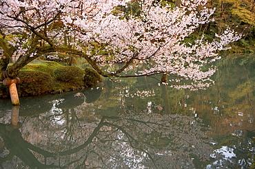 Cherry blossom, Kenrokuen Garden, Kanazawa city, Ishigawa prefecture, Honshu island, Japan, Asia